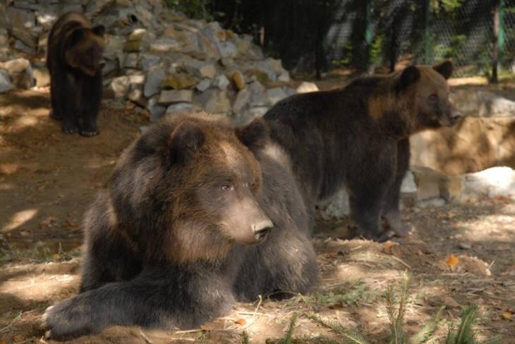Колискова від галицьких ведмедів: як клишоногі вкладаються спати (відео)
