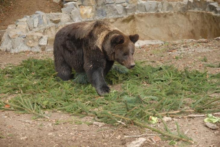 Бурі ведмеді на Прикарпатті продовжують бешкетувати, замість того, щоб піти в довгу зимову сплячку (відео)
