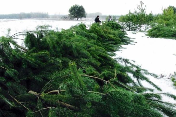На Прикарпатті екоінспекція перевіряє лісгоспи на дотримання лімітів заготівлі новорічних ялинок