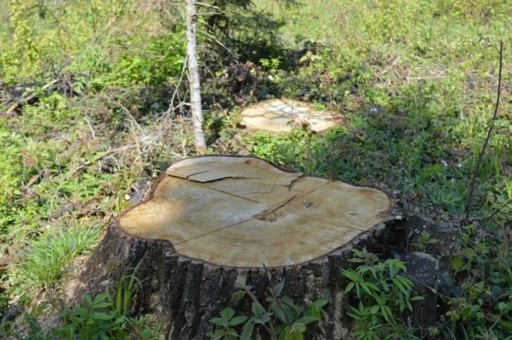 Поблизу Франківська незаконно зрубали більш як сотню дерев – екологи нарахували збитків на 365 тисяч гривень