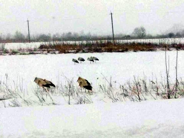 Прикарпатці рятують лелек, які потерпають від морозів і снігопаду. ФОТО 6