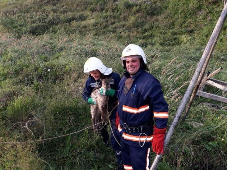Рятувальники на Прикарпатті витягли корову з річки, а козу – з колодязя 1