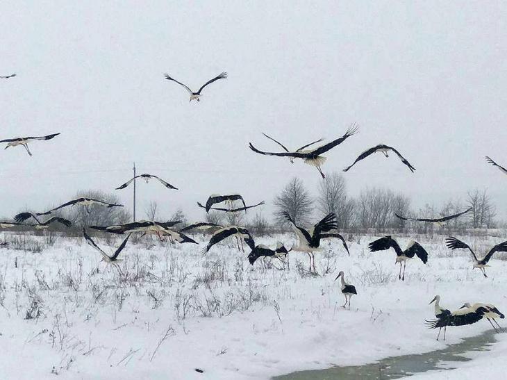 Прикарпатці рятують лелек, які потерпають від морозів і снігопаду. ФОТО 1