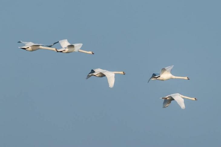 На Бурштинське водосховище прилетіли зимуючі птахи. ФОТО 2