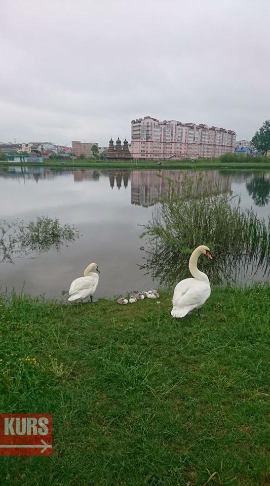 """Лебеді на """"німецькому озері"""" у Франківську вивели пташенят (фотофакт)"""