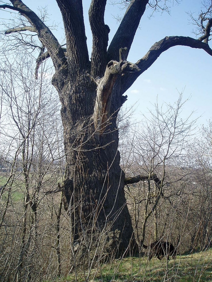 Найстарішому дереву на Прикарпатті 900 років. КАРТА, ФОТО 2