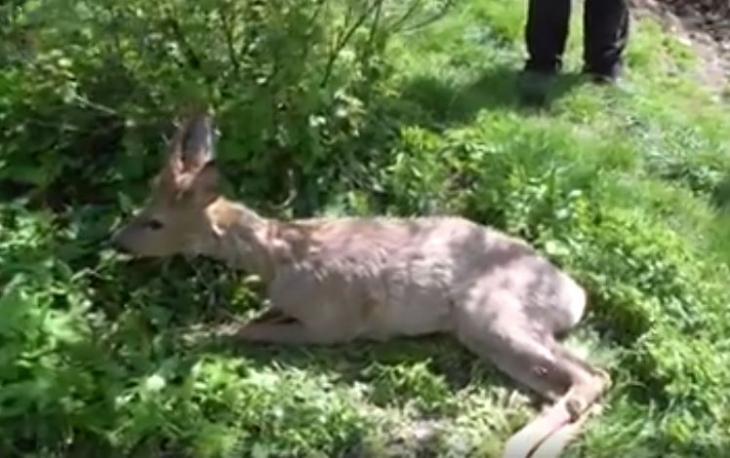 На Прикарпатті намагаються врятувати дику косулю, яку збила машина (відео)