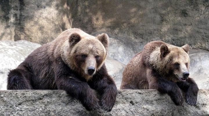 У мережі показали кумедні снігові ігри ведмедів у Галицькому природному парку (відео)