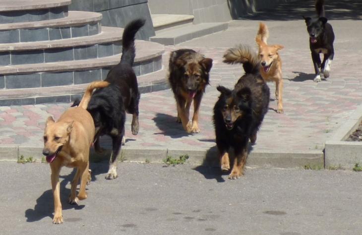 У Франківську безпритульні собаки покусали перехожого – вакцин від сказу немає