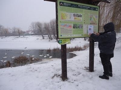На озері в Надвірній зимують білі лебеді. ФОТО 2
