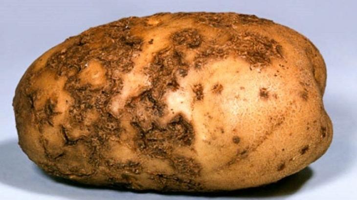 На Прикарпатті поширюється рак картоплі – заражені овочі їсти не можна 2