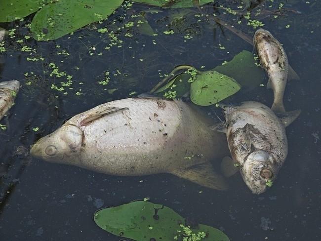 На Калущині фекалії з труби потрапили у водойму – загинула риба