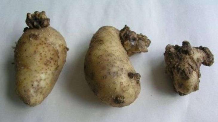 На Прикарпатті поширюється рак картоплі – заражені овочі їсти не можна 4