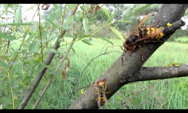 Жительку франківського передмістя сильно налякали агресивні комахи