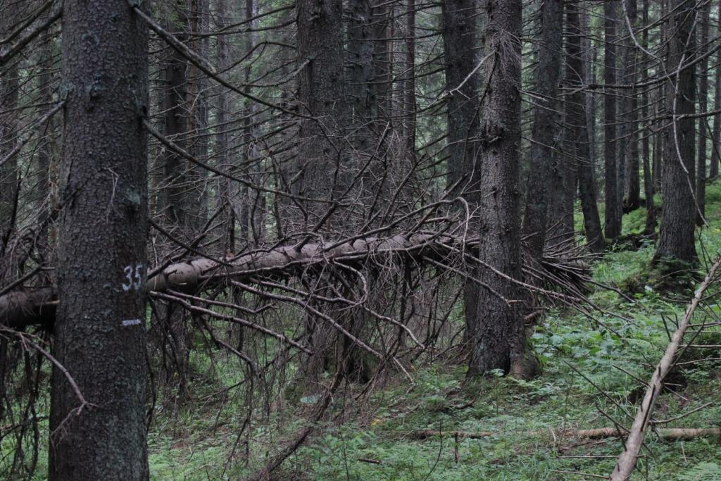 Карпатські праліси і високі полонини: КУРС побував у місцях, де ведмеді приходять у гості 12