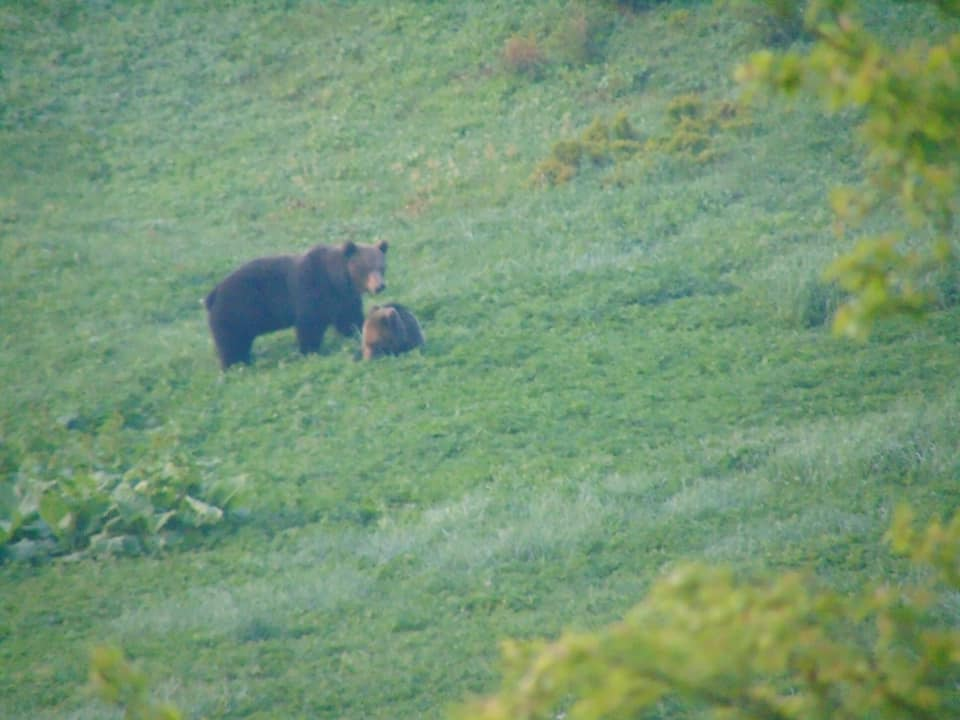 На Верховинщині зняли пару ведмедів у час загравань 2