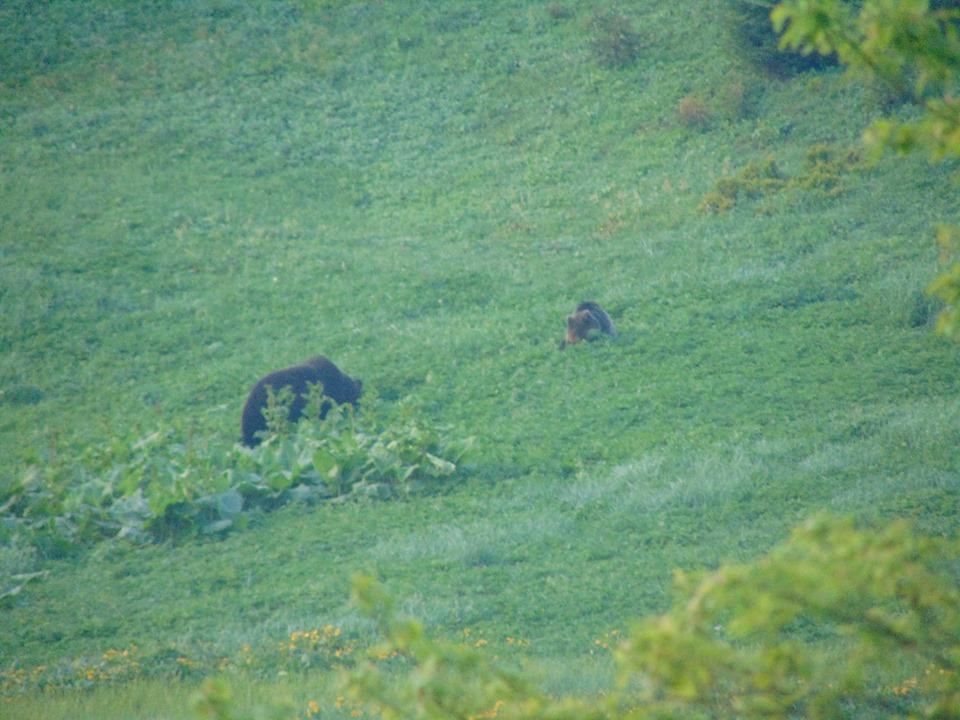 На Верховинщині зняли пару ведмедів у час загравань 4