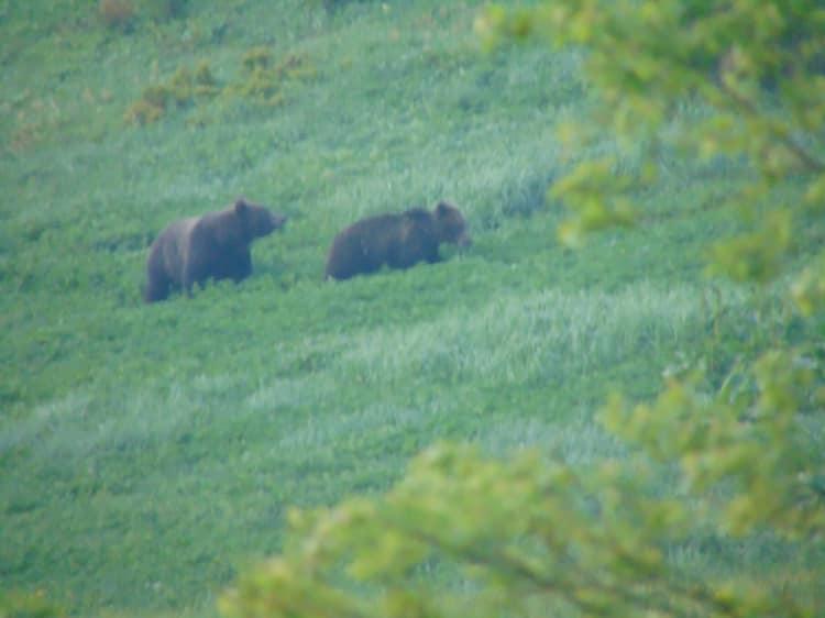 На Верховинщині зняли пару ведмедів у час загравань 1