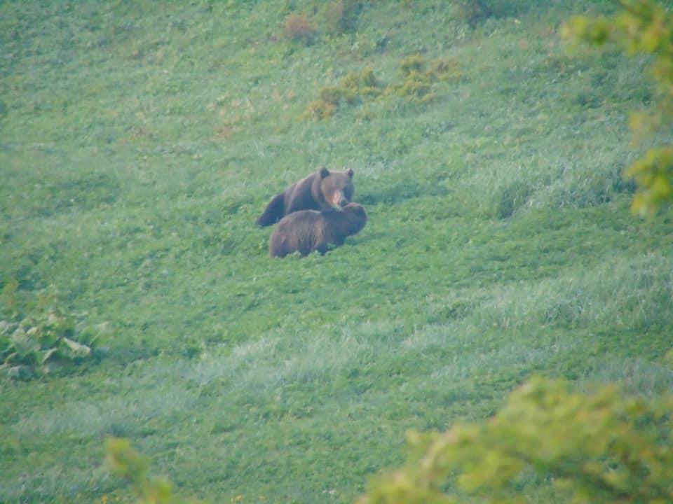 На Верховинщині зняли пару ведмедів у час загравань 3