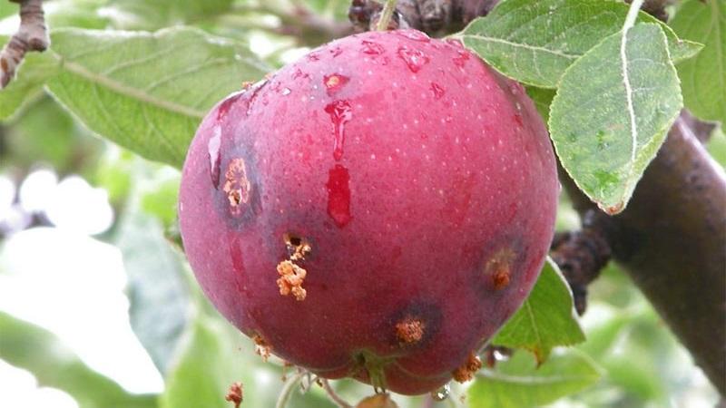 Врожай у садах на Прикарпатті нищить плодожерка 2