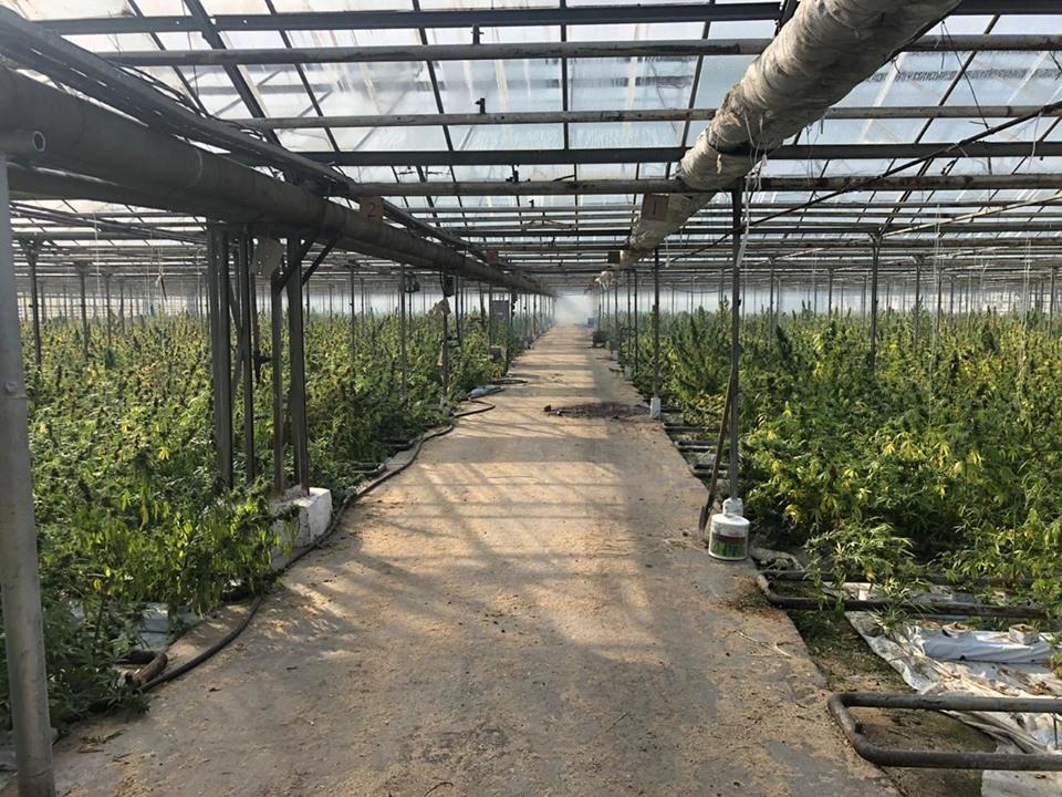 На Прикарпатті накрили рекордну тепличну плантацію марихуани 8