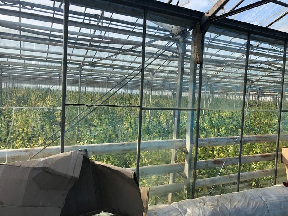 На Прикарпатті накрили рекордну тепличну плантацію марихуани 6