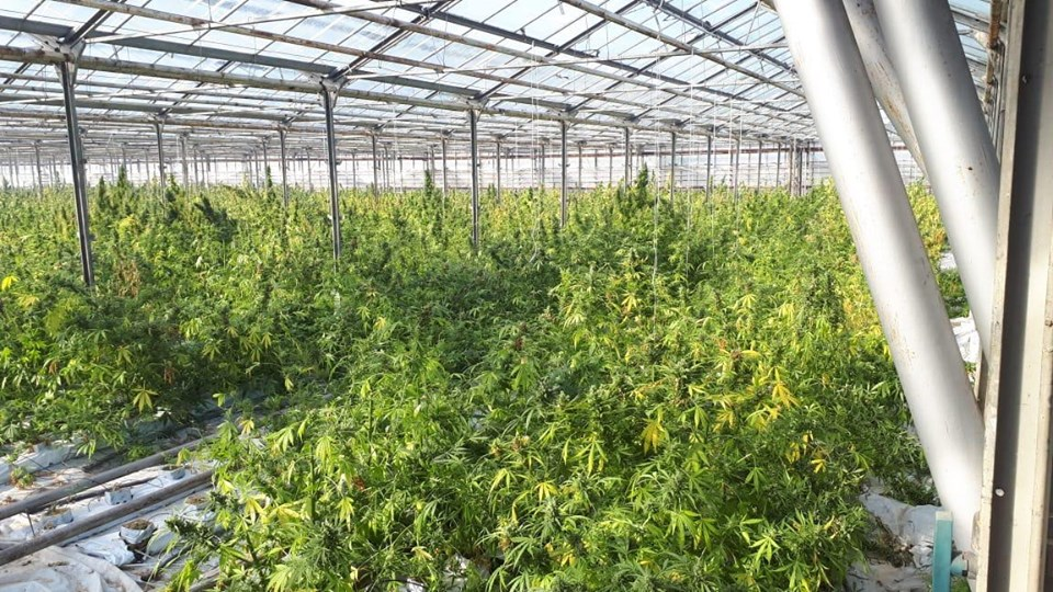 На Прикарпатті накрили рекордну тепличну плантацію марихуани 2
