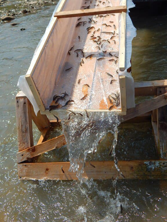 У Прут випустять 30 тисяч мальків лосося та форелі 1