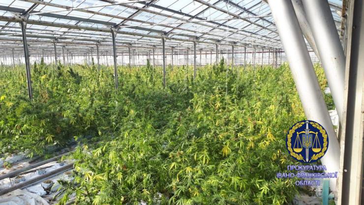 100 тисяч кущів і більше тонни марихуани: правоохоронці розповіли, як на Прикарпатті викрили рекордну плантацію коноплі 2