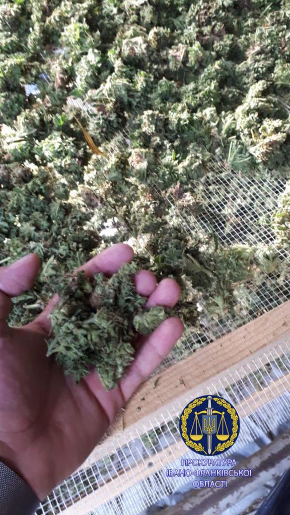 100 тисяч кущів і більше тонни марихуани: правоохоронці розповіли, як на Прикарпатті викрили рекордну плантацію коноплі 5