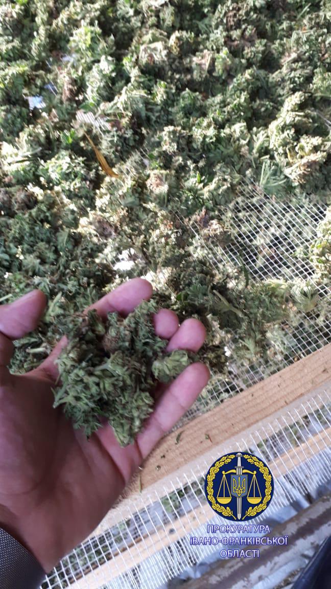 100 тисяч кущів і більше тонни марихуани: правоохоронці розповіли, як на Прикарпатті викрили рекордну плантацію коноплі 10
