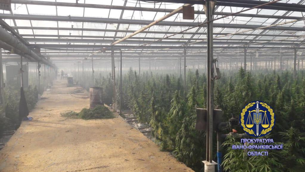 100 тисяч кущів і більше тонни марихуани: правоохоронці розповіли, як на Прикарпатті викрили рекордну плантацію коноплі 3