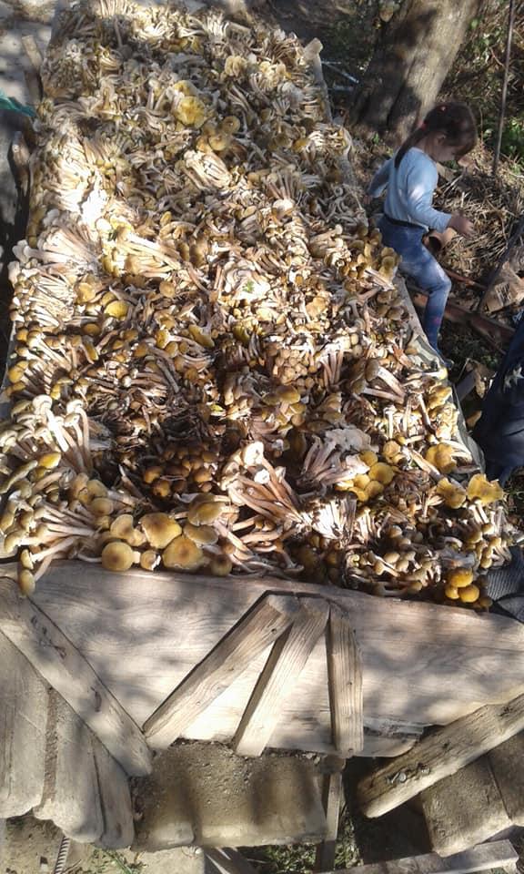 На Коломийщині назбирали фіру підпеньків: прикарпатці хизуються осінніми грибами 2
