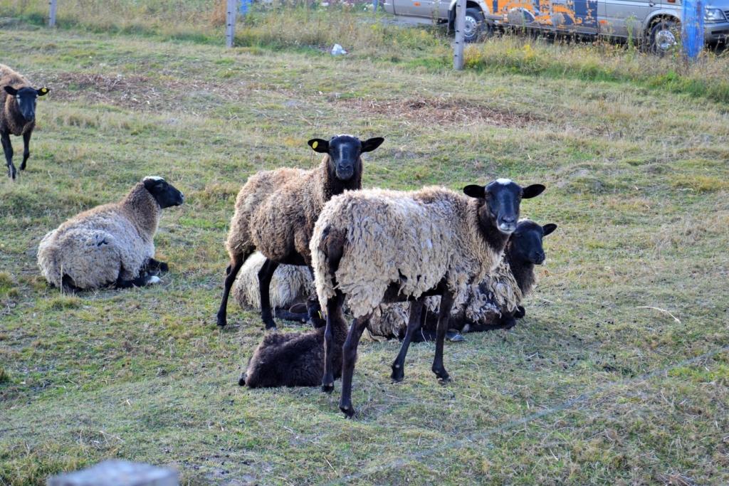 На Коломийщині створили овечу ферму – планують запустити сироварню 6
