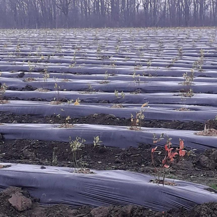 На Франківщині фермерське господарство отримає компенсацію з бюджету за вирощування канадської чорниці 6