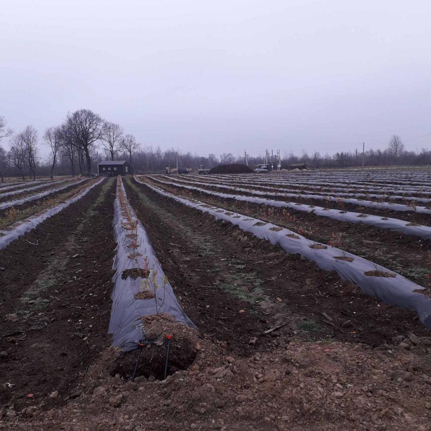 На Франківщині фермерське господарство отримає компенсацію з бюджету за вирощування канадської чорниці 4