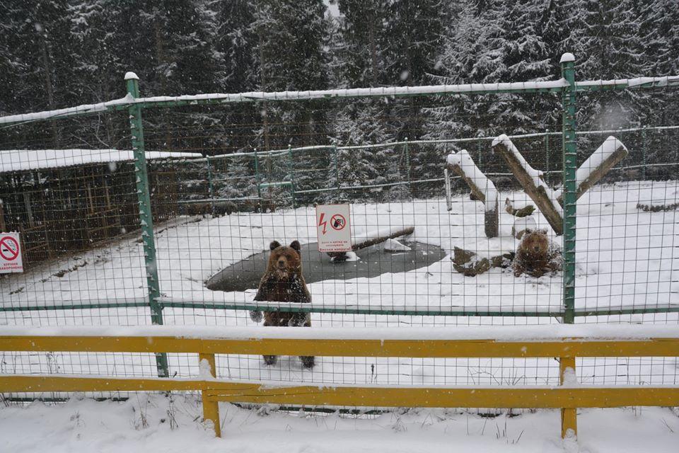 У Карпатах через теплу зиму не можуть заснути ведмеді 1