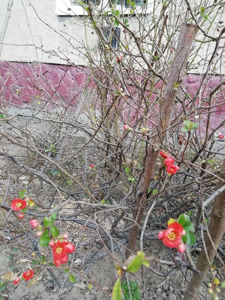 На Франківщині зацвіла райська яблуня. ФОТОФАКТ 2
