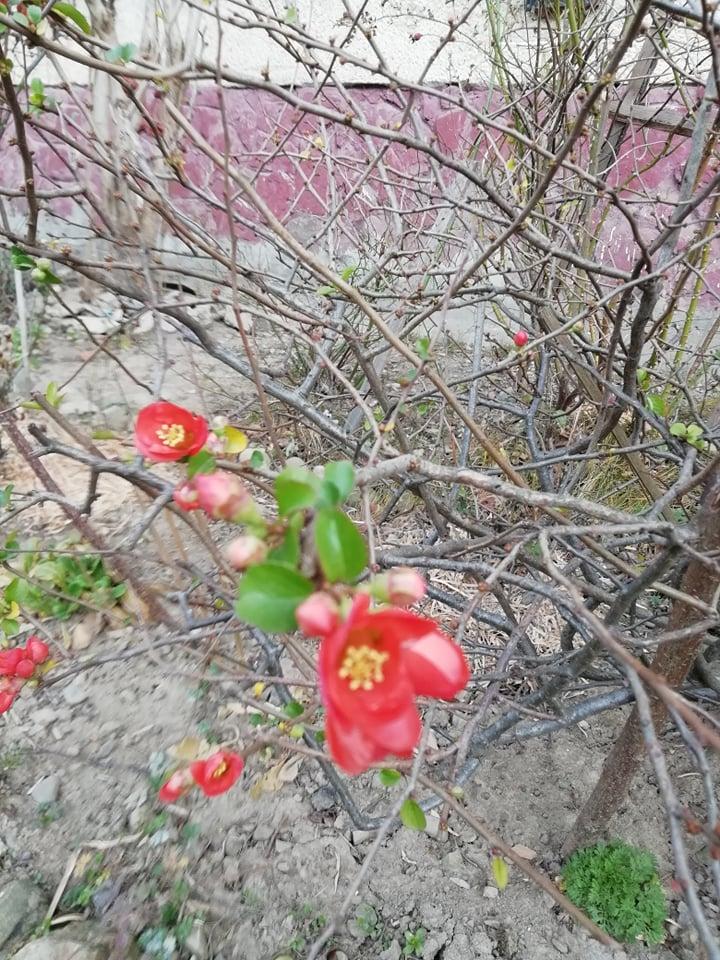 На Франківщині зацвіла райська яблуня. ФОТОФАКТ 4