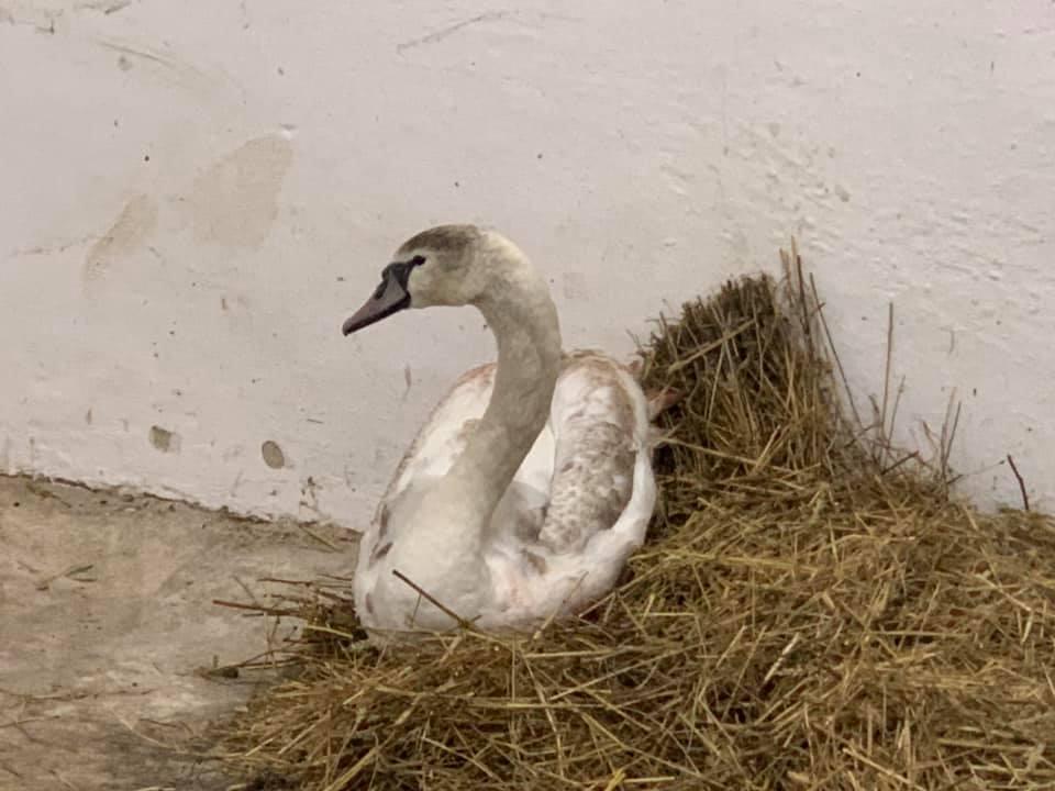 Пораненого лебедя з Німецького озера забрали в парк 6