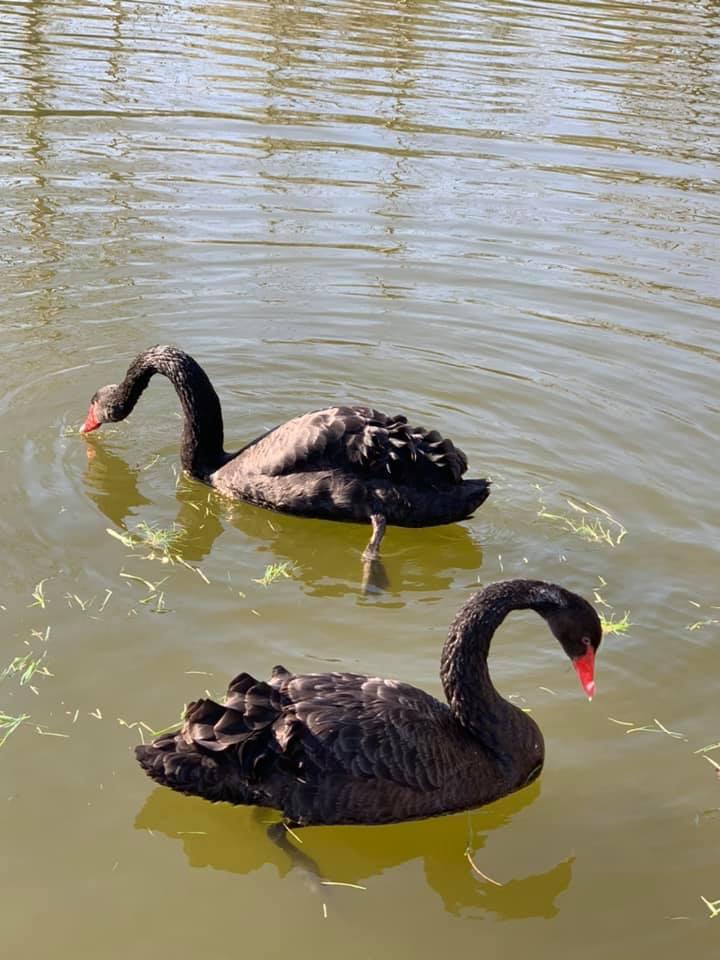 У Франківському парку запустили фонтан і пустили на воду чорних лебедів 1
