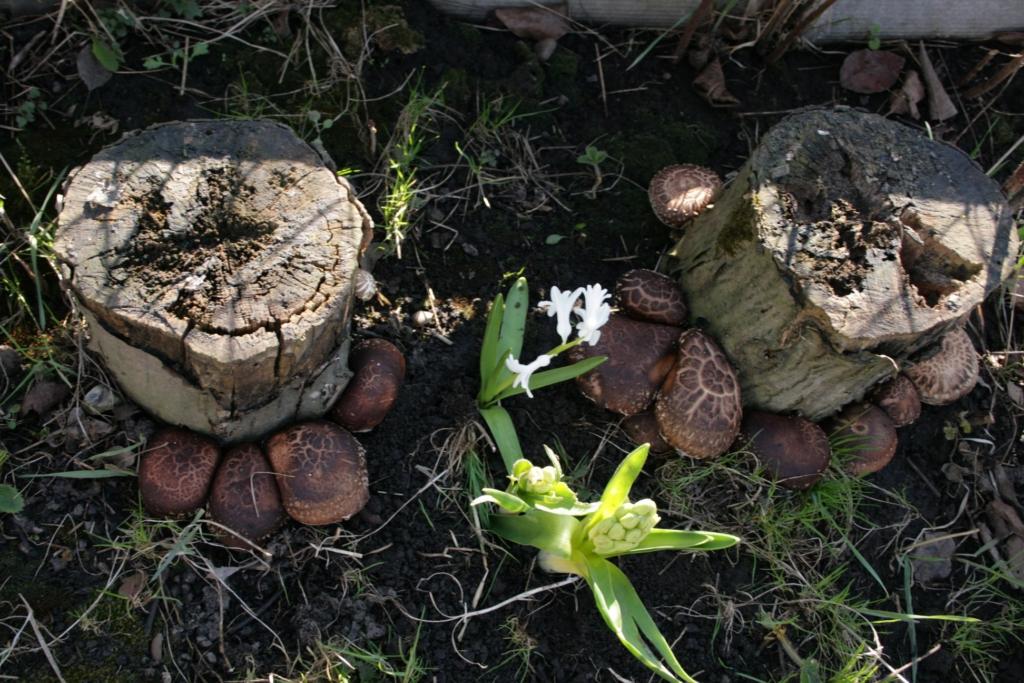 """Прикарпатець вирощує 20 сортів фіги і """"картопляне дерево"""" 2"""