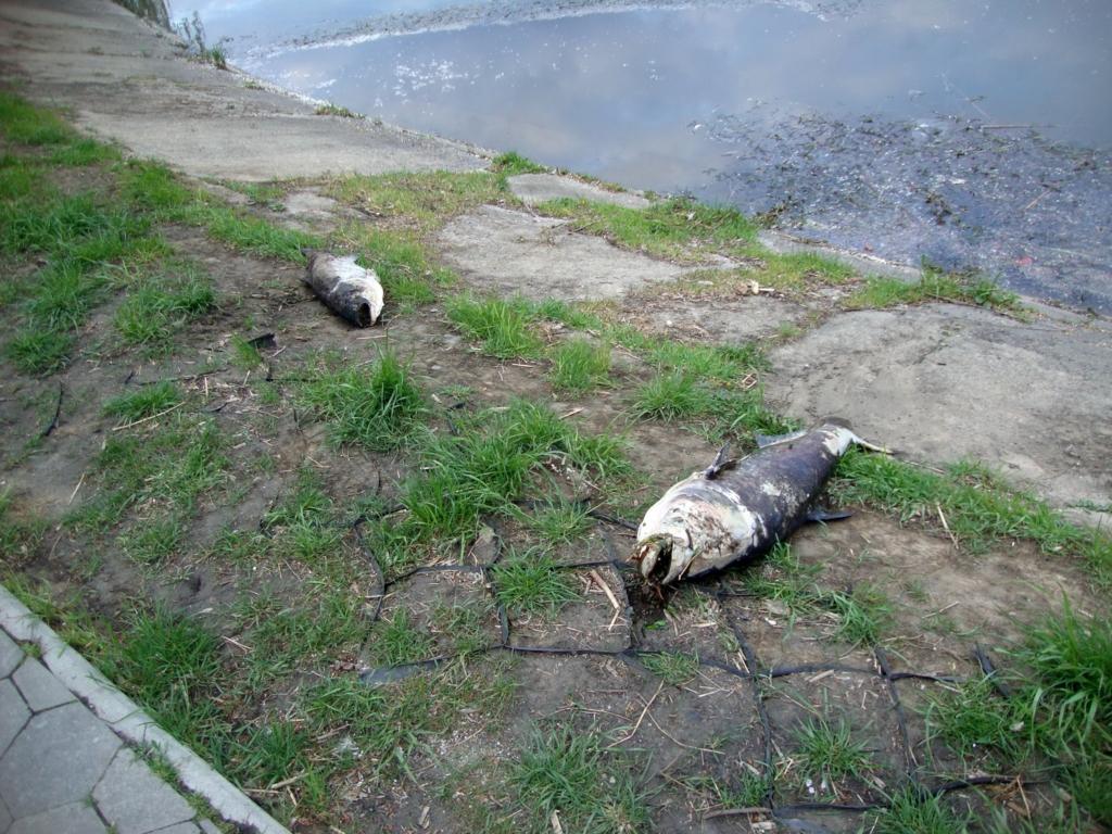 На озері у Франківську гине риба товстолобик