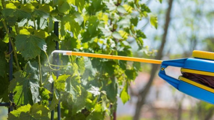 Чим обробити виноград весною