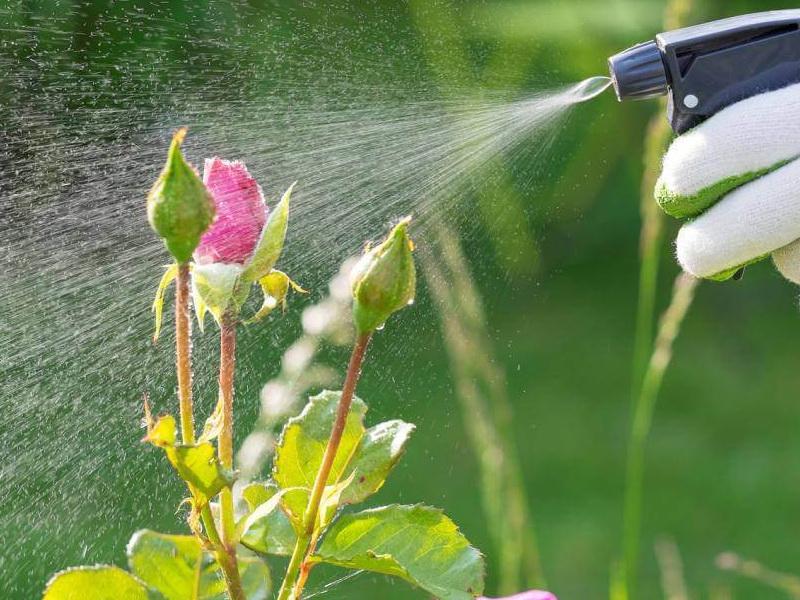 Чим обробляти рози весною