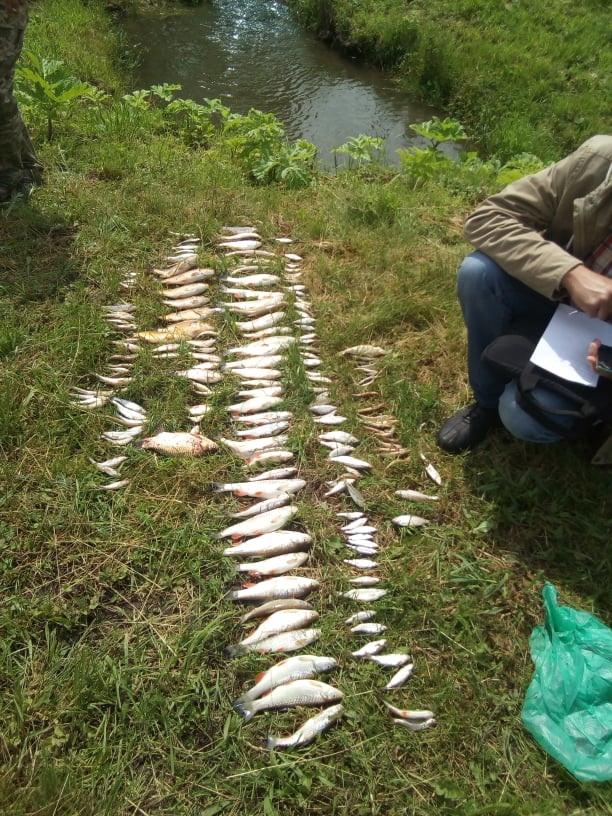 У річці Пічеси загинула риба