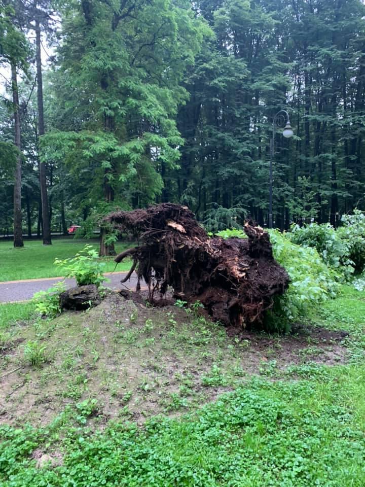 У міському парку Франківська впав 95-річний цукровий клен 2