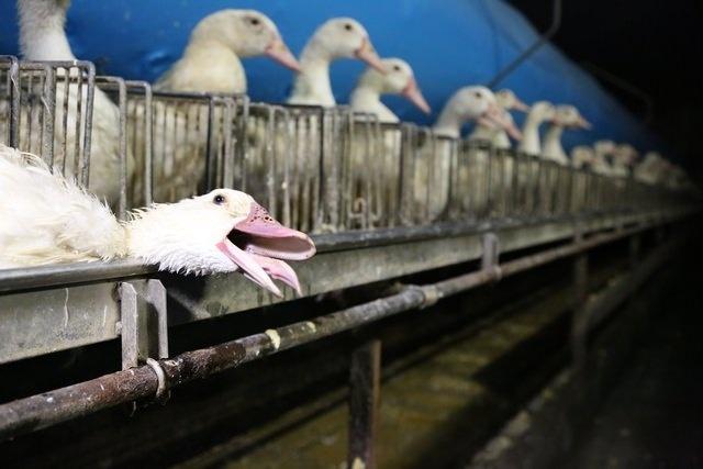 Після відео зі Снятинської птахофабрики заборонили фуа-гра в тисячі ресторанів Нью-Йорка 1