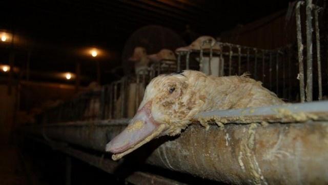 Після відео зі Снятинської птахофабрики заборонили фуа-гра в тисячі ресторанів Нью-Йорка 2