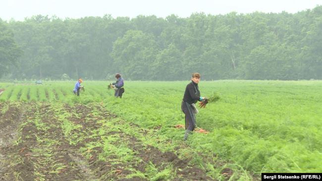 Чеські фермери готові оплачувати робітникам з Прикарпаття тести на COVID-19 1